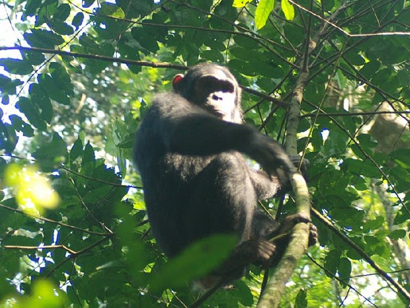 Chimp trekking Uganda Fort Portal Holiday Photos