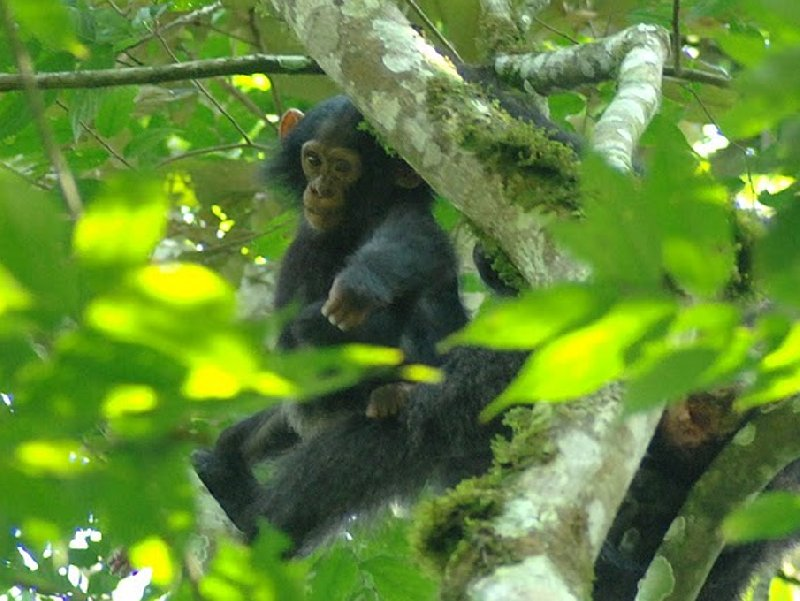Chimp trekking Uganda Fort Portal Vacation Pictures