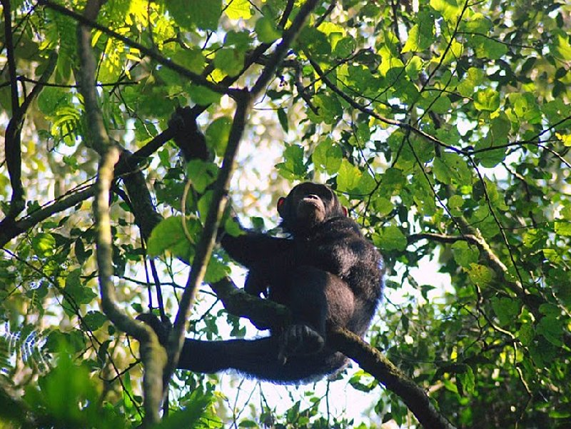 Chimp trekking Uganda Fort Portal Holiday Sharing