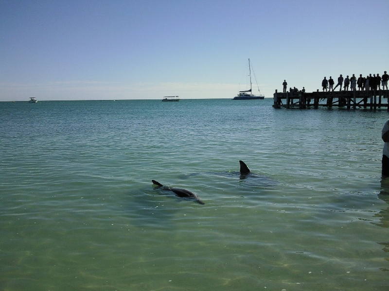 Feeding at Monkey Mia Dolphin Resort Australia Photo Sharing