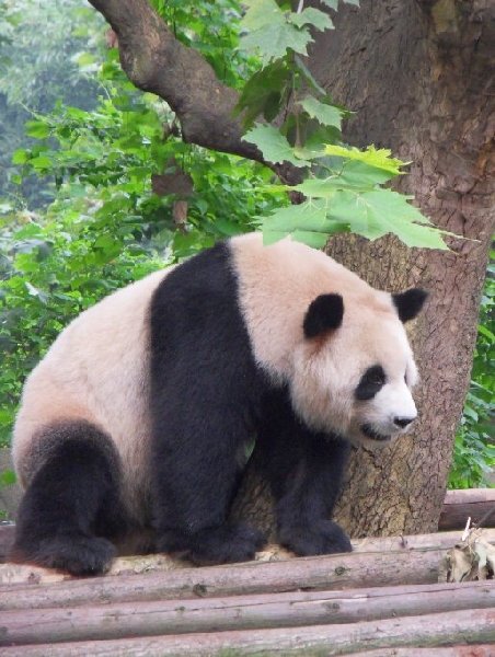 Visit Chengdu Panda Reserve China Picture gallery