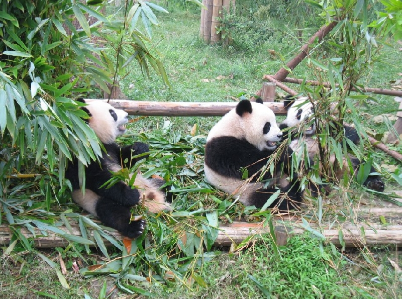 Photo Visit Chengdu Panda Reserve China