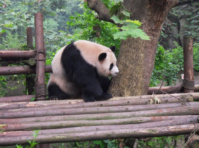 Visit Chengdu Panda Reserve China Vacation Tips