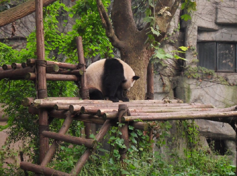Visit Chengdu Panda Reserve China Holiday