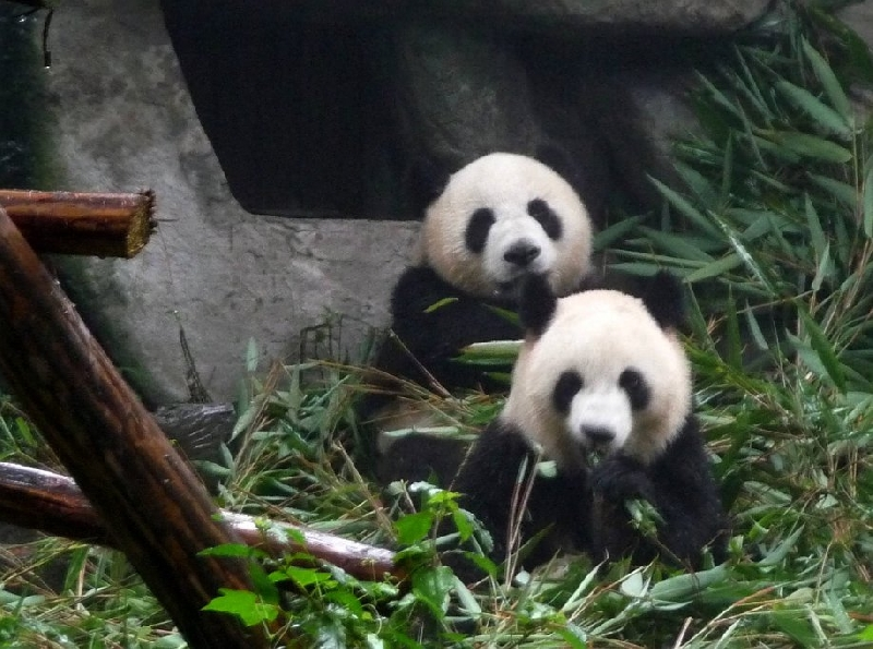 Visit Chengdu Panda Reserve China Travel Package