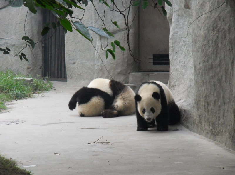 Visit Chengdu Panda Reserve China Blog Information