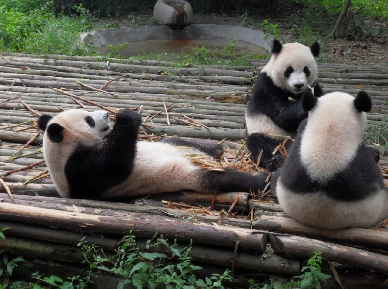 Visit Chengdu Panda Reserve China Travel Blogs