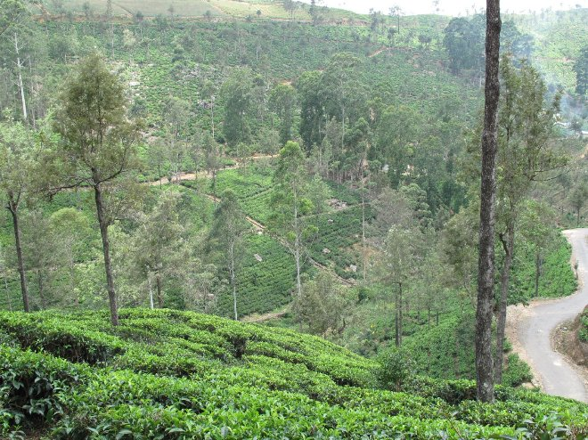 Tea Factory Visit Sri Lanka Dambulla Travel Review