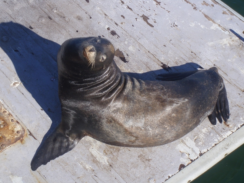 Seals at Santa Cruz Waterfront United States Picture