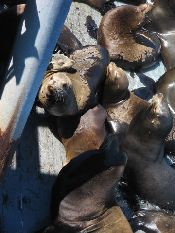 Photo Seals at Santa Cruz Waterfront 