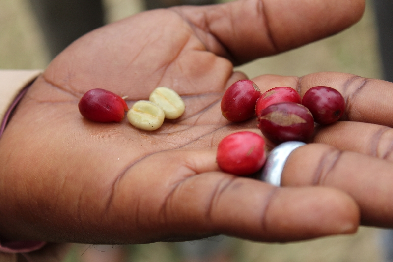 Peeled Coffee Beans before roasting, Arusha Tanzania