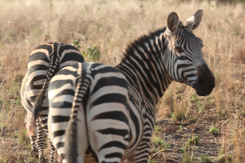 Zebra's Tarangire National Park, Tanzania