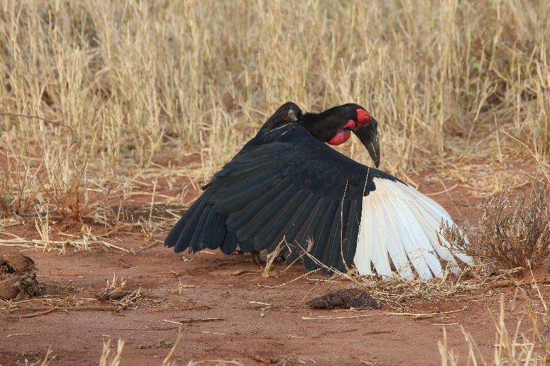 Southern Ground Hornbill Tarangire NP, Manyara Tanzania