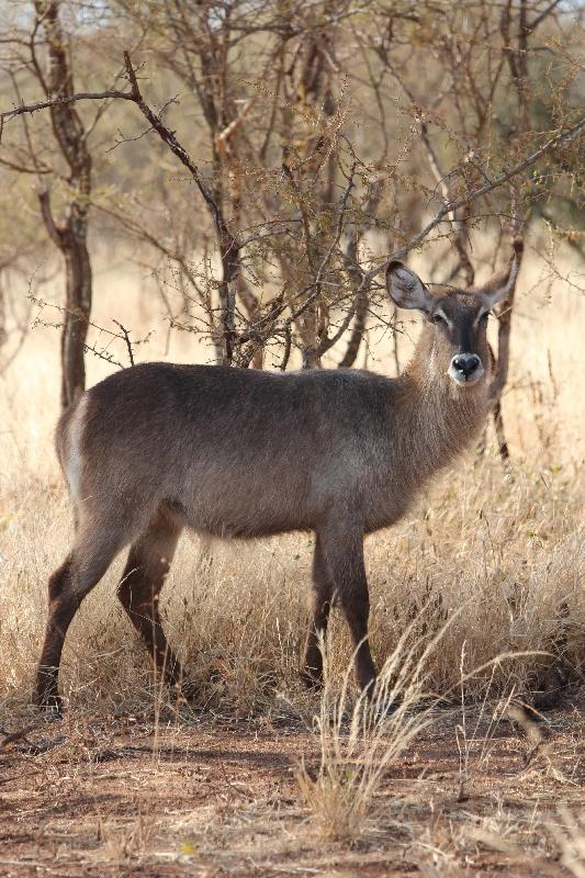 Female Waterbuck at Tarangire National Park, Tanzania