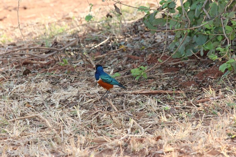 Superb Starling Tarangire NP, Tanzania