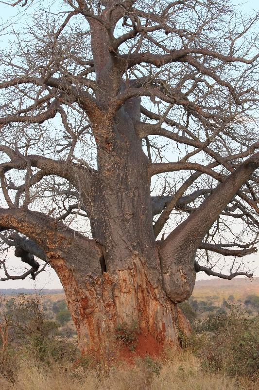 Baobab Tree Tarangire NP, Tanzania