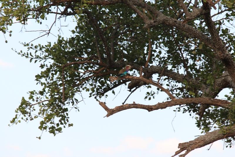Lilac-Breasted Roller Tarangire NP, Tanzania