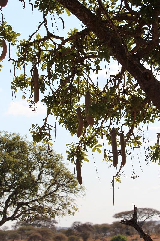 Kigelia Sausage Tree Tarangire NP, Tanzania
