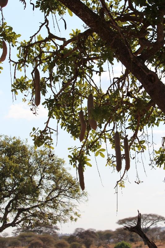 Kigelia Sausage Tree Tarangire NP, Manyara Tanzania
