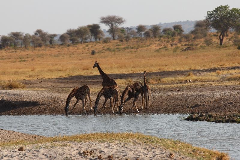 Giraffes Drinking at Tarangire NP Tanzania, Tanzania