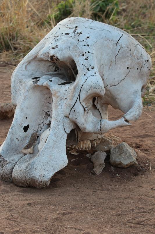 Elephant Skull Tarangire NP, Tanzania
