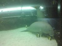 Photos of the Dugongs at the Sydney Aquarium Australia Picture