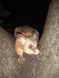 Possums in Hyde Park, Sydney City Australia Travel Package