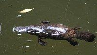 Platypus at Broken River, Eungella NP