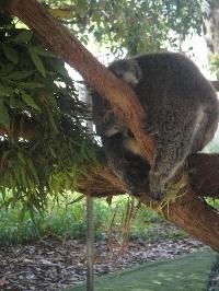 Koala at the Bonorong Wildlife Park