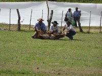 Argentinian cowboys catch a cow