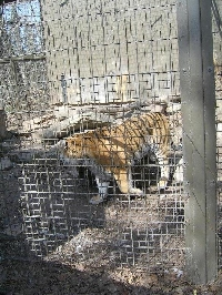 At the tiger cage