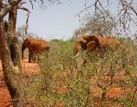 Safari in Kenya, elephants!