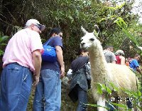 Photo of a local lama in Machu Picchu