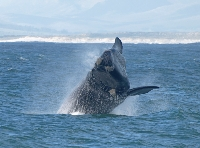 Whale watching at Hermanus!