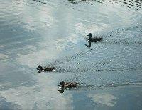 Baby swans swimming around in Nottingham.