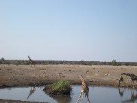 Photos of drinking giraffes in Etosha National Park, Namibia