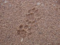 Lion footprints at Kafue National Park Wildlife Pictures, Zambia