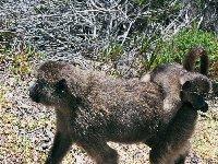 Mom and baby baboon in Botswana