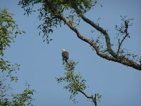 Photo of an eagle in the Sundarbans National Park
