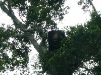 Bear in a tree, Yala National Park, Sri Lanka