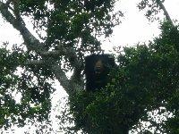 Bear in a tree, Yala National Park, Sri Lanka