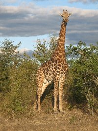 Pictures of a giraffe in the Mkhaya Game Reserve, Swaziland
