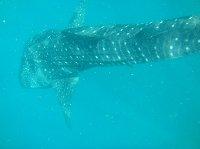 Djibouti whale sharks Vacation Photo