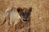 Lion gazing in Masai mara
