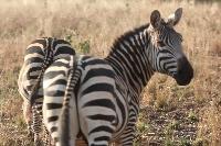 Zebra's Tarangire National Park