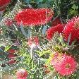 Parrot flowers, Perth Australia