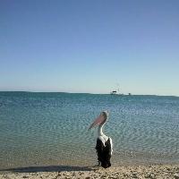 Monkey Mia Australia Pelican