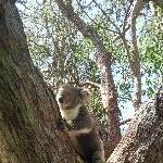 Yanchep Australia Koala