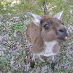Kangaroo upclose, Dunsborough Australia