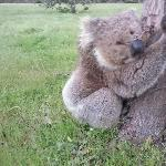 Kangaroo Island Australia Koala close up